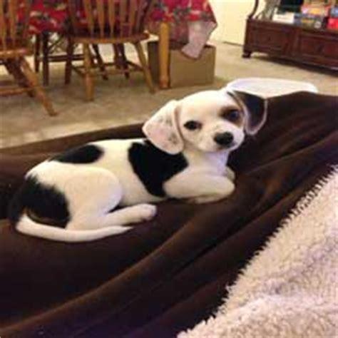 cheagle puppies cheagle chihuahua beagle mix
