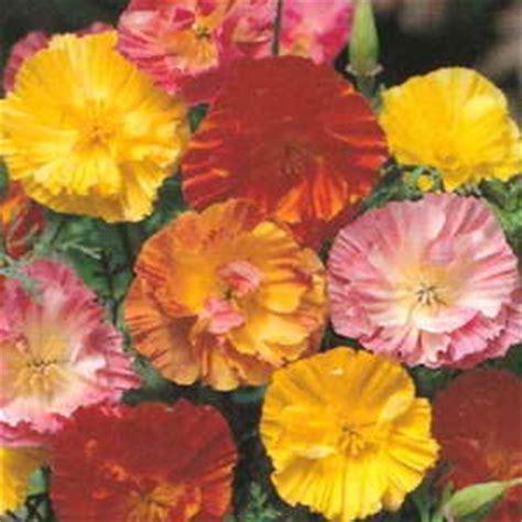 Biji Benih California Poppy Ballerina Mix eschscholzia ballerina mix egmont seed company ltd seed sales