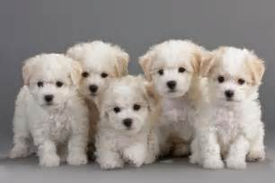 Bichon frise dog breeders profiles and pictures dog breeders
