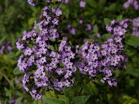 info on heliotrope flowers how to grow heliotrope and