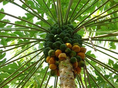 Kalung Gantung Daun Hitam Putih pepaya ciri ciri tanaman serta khasiat dan manfaatnya
