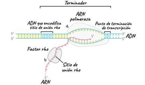 cadena molde de adn transcripcion transcripcion del adn epub download