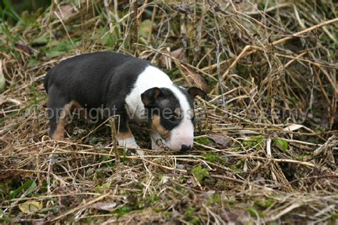 bull terrier puppies florida bull terrier puppies for sale in florida breeds picture