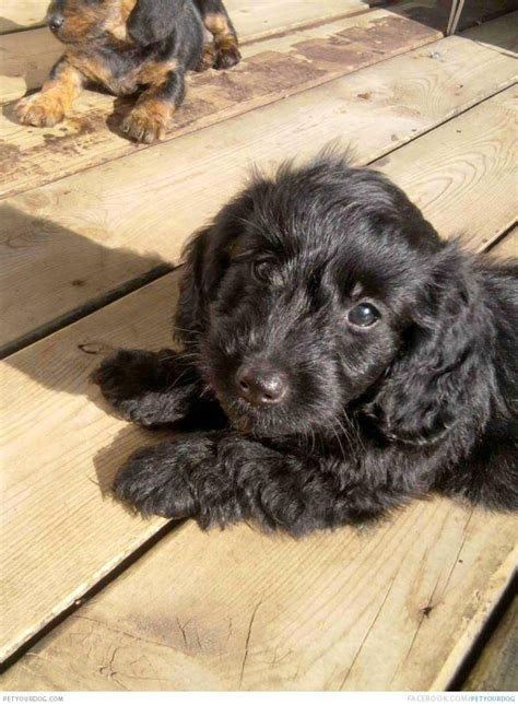 doxiepoo puppies doxiepoo pictures wacky or pictures and