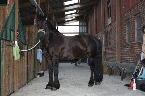 pferde stall mein friese lanos im stall foto bild tiere haustiere