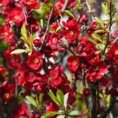 Arbustes Fleurs Rouges by Arbuste Liste Ooreka