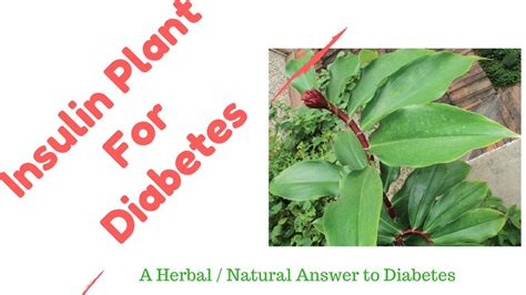 Diskon Teh Herbal Diabetes Diabetea Insuline insulin plant a diabetes home herbal remedy