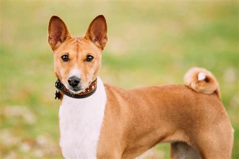 quietest breeds top 10 small breeds