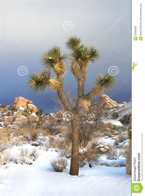 national tree snowy impearial snowy landscape in joshua tree national park stock photo image of joshua park 56380302