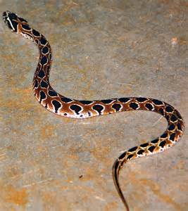 two bangalore techies arrested for keeping venomous snakes