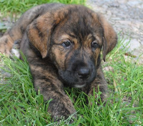 mastiff puppy mastiff info puppies pictures temperament
