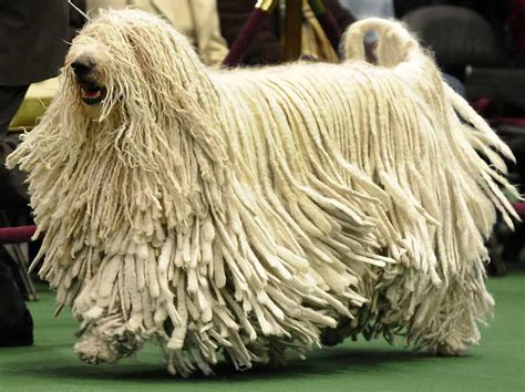 komondor puppy komondor komondor information komondor pictures komondor puppies