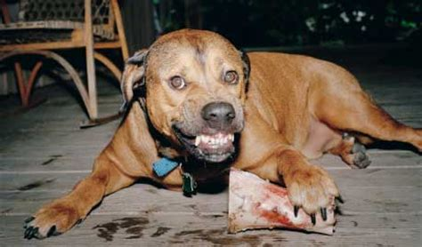 aggression in dogs how to stop food aggression in dogs the bully breeds