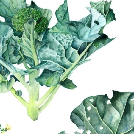 Special Edition Broccoli this gicl 233 e print of j r shepherd s broccoli watercolour painting is from a limited edition of
