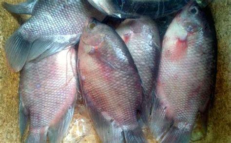 Jual Bibit Ikan Gurame Lung jual ikan gurame di pekanbaru