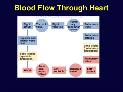 blood flow through the diagram step by step cardiac physiology