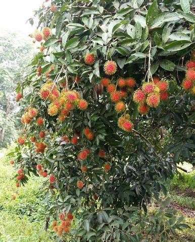 Benih Rambutan Cepat Berbuah pokok rambutan jarum emas malaysia plant nursery
