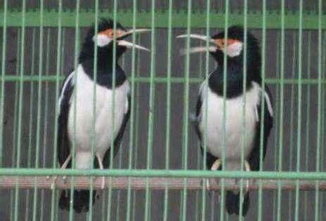 Harga Pakan Burung Jalak Suren cara ternak jalak suren kicau mania
