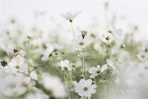 wallpapers hd tumblr flowers white flowers tumblr 19 hd wallpaper hdflowerwallpaper com