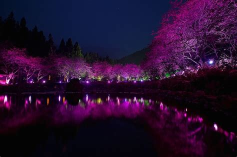 light up cherry blossom tree s dazzling cherry blossom trees light up at