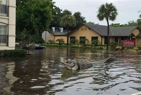 freedom boat club deep river ct us alligator sanctuary on alert as flood threatens to