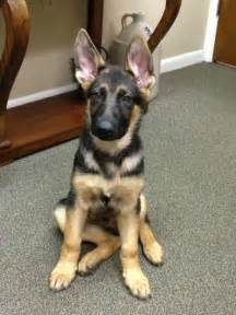 german shepherd eye color german shepherd eye color