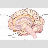 Hypothalamus   1119 x 742 jpeg 404kB