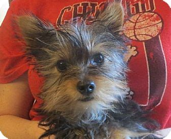 yorkie rochester ny rochester ny yorkie terrier meet britches a puppy for adoption