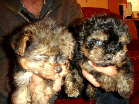 yorkie and poodle mix puppies poodle yorkie mix dogs our friends photo