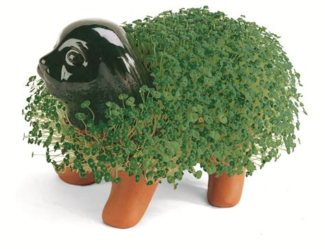 how to a pet how to grow a chia pet