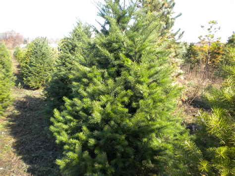 choose and cut trees in illinois choose and cut trees horrocks nursery garden center