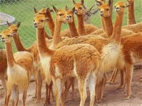imagenes animales de la sierra bellezas naturales del peru animales de la sierra del peru
