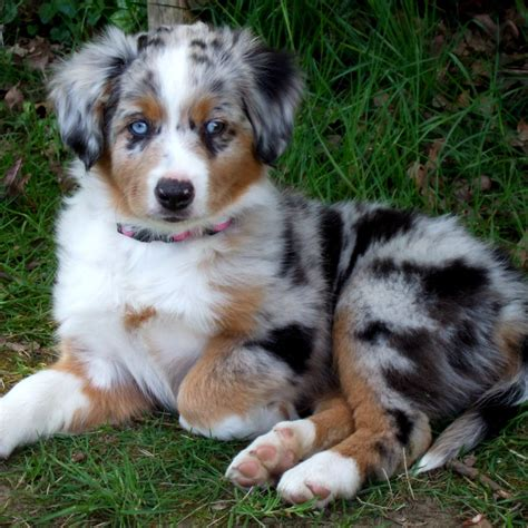puppy australian shepherd miniature australian shepherd breed guide learn about the miniature australian shepherd