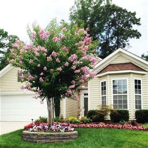 Landscape Ideas Zone 6 Pink Velour Crape Myrtle Hardy In Zone 6 Plants