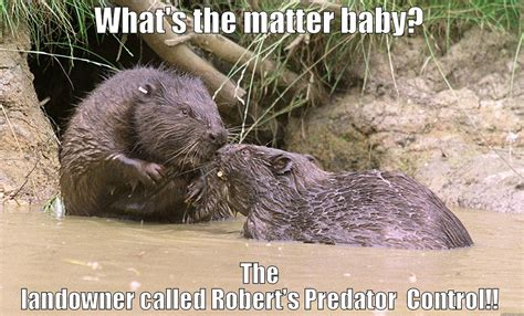 Beaver Meme - unhappy beaver quickmeme
