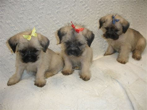 tiny pug puppies micro tiny teacup pug x maltese mug puppy skegness lincolnshire pets4homes