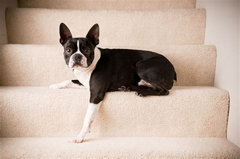 Do Rat Terriers Shed A Lot by 100 Terrier Shedding A Lot Boston Terrier