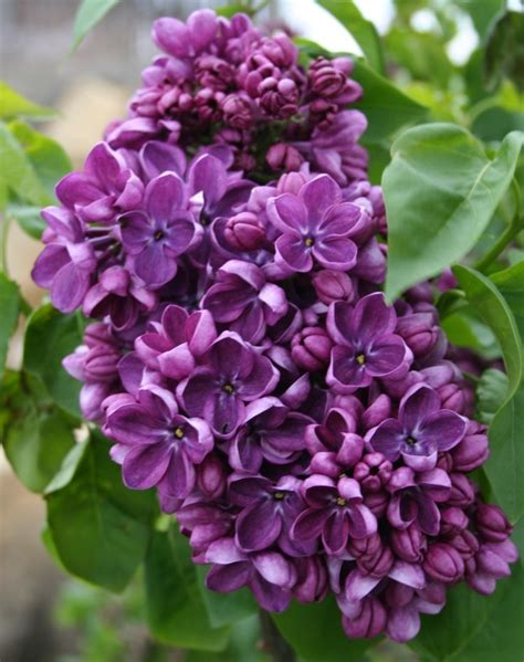 purple lilacs yankee doodle lilac bush google search purple the