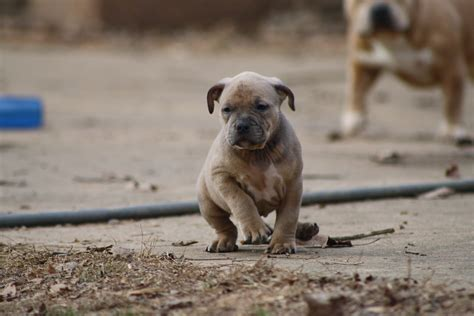 inbred puppies inbreeding carolina bully farms