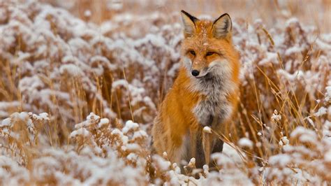 best fox pictures 4k fox wallpapers high quality free