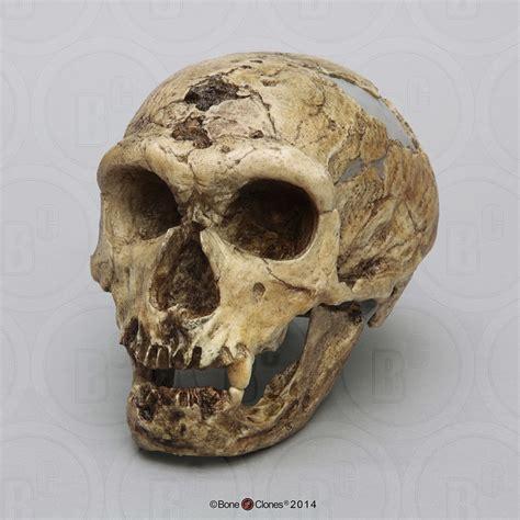 fossil hominids set   skulls bone clones