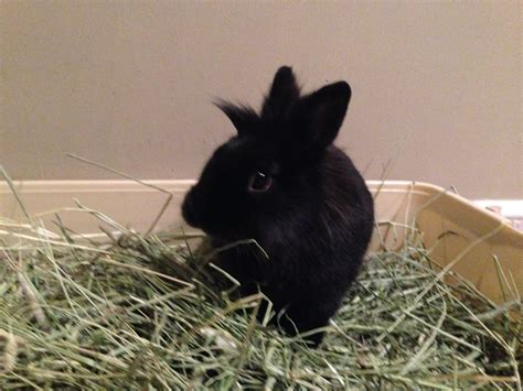 house rabbit network this easter let s give rabbits a break incity times