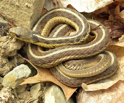 eastern garter snake wikipedia