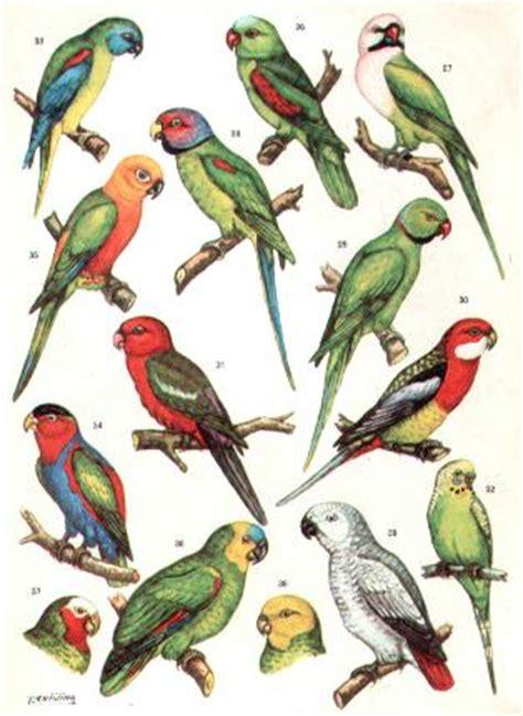 parrocchetto testa di prugna uccelli nel mondo
