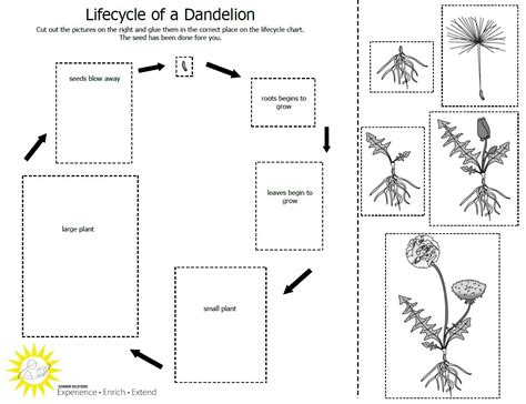 cycle of plants and animals worksheets free coloring pages of bean plant cycle