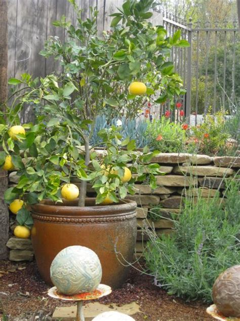 fruit trees for small backyards potted fruit trees for small yards garden pinterest