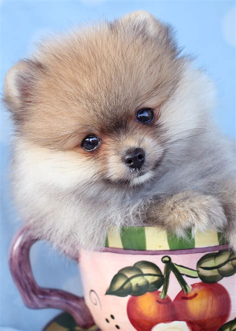 pomeranian puppies in florida pin teacup pomeranian puppies for sale in south florida puppy on