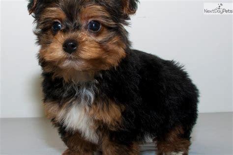 yorkie poo rescue ohio yorkie poo pup meet rafe a yorkiepoo yorkie poo puppy for sale for meet tiny