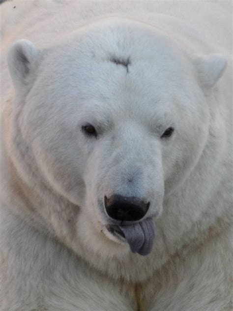 bear with tongue sticking out polar bear sticking a tongue out 187 ekaterinburg zoo gallery