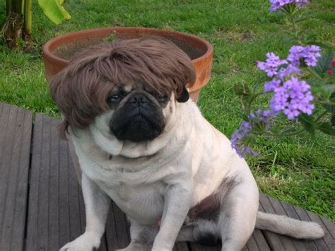 haired pug pictures the pug hairstyle every pug is sporting this is milan and new